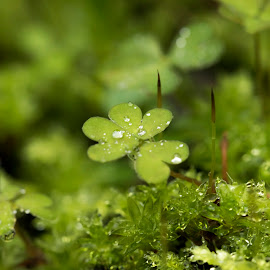 Clovers in the  forest by Clarissa Human - Nature Up Close Other plants ( forests, green, moss, plants, water droplets )