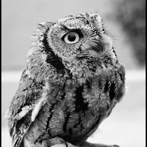 Screech Owl-14.jpg