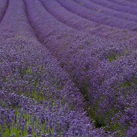 Lavender by Sally Turner - Landscapes Prairies, Meadows & Fields ( field, purple, horticulture, lines, flowers, lavender, crop, rows )