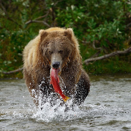 Fresh fish by Frode Wendelbo - Animals Other Mammals ( mammals, grizzly, bear, katmai np, alaska, wildlife, brown bear, grizzly bear )