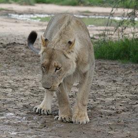Readym steady.. by Charmane Baleiza - Animals Lions, Tigers & Big Cats ( kalagadi, charmane baleiza, lion, panthera leo, young male lion )