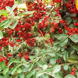 Red Berries by Donna Probasco - Novices Only Flowers & Plants (  )