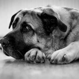 Iam watching you by Paul Phull - Animals - Dogs Portraits ( black and white, pet, paws, dog, cute, bullmastiff cross, eye )