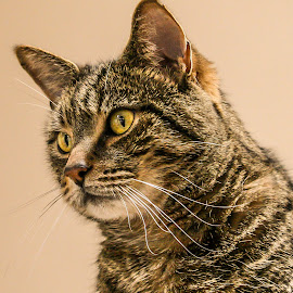 Tabby Cat Portrait  by Vicki Roebuck - Animals - Cats Portraits ( whiskers, tabby, eyes, markings )