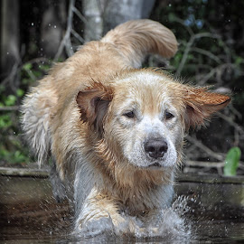 Marley  by James Betts - Animals - Dogs Playing ( dogs, water dog, dog jump )