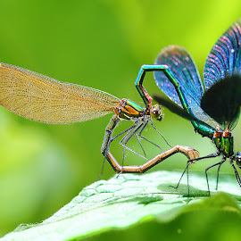 Chaleoptheryx mating by Gérard CHATENET - Animals Insects & Spiders