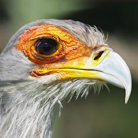 Secretary Bird by Ingrid Anderson-Riley - Animals Birds (  )