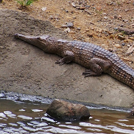 Crocodile by Sarah Harding - Novices Only Wildlife ( nature, novices only, wildlife, reptile, animal )