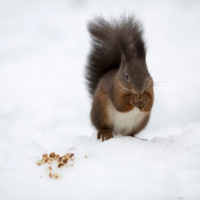 hungry squirrel by Dominik Konjedic - Animals Other Mammals ( squirrel; )