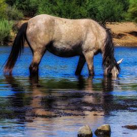 Wild Horse Snorkeling  by Deb Bulger - Animals Horses ( wild_horses, animals, equine, nature, horses, wildlife, saltriverwildhorses, water_horses )