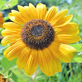 Summer Bloom 3 by Corinne Hall - Flowers Single Flower (  )