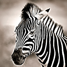 Zebra Colt by Pieter J de Villiers - Black & White Animals