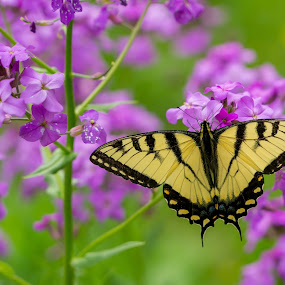 Resting on a flower by Jason Lemley - Animals Insects & Spiders ( butterfly, monarch, flower,  )