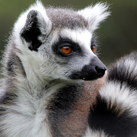 Lemur by Ralph Harvey - Animals Other Mammals ( wildlife )