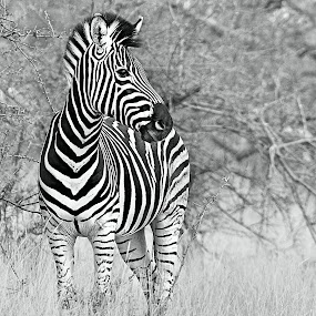 The Colt by Pieter J de Villiers - Black & White Animals ( mammals, black& white, animals, south africa, zebra, zebra colt,  )