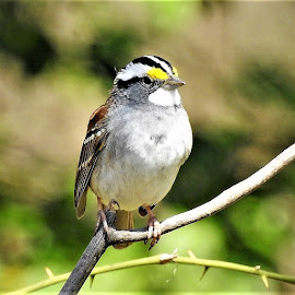 white-throated sparrow by Mary Gallo - Animals Birds