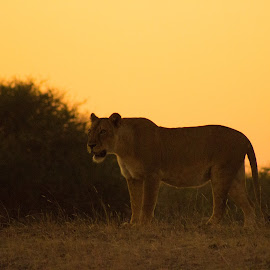 Lion during sunset by Peet Snyder - Animals Lions, Tigers & Big Cats ( lion, cat, lioness, sunset, africa, mammal, sun )