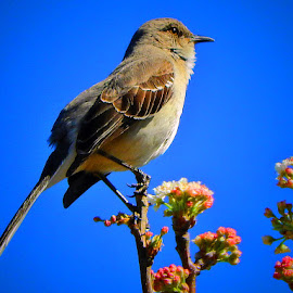 Mockingbird on guard by Bill Martin - Animals Birds ( bird, perched, nature, feathers, mockingbird, animal )