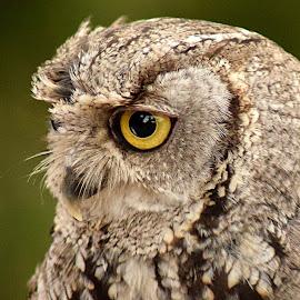 Wood Owl by Shawn Thomas - Animals Birds