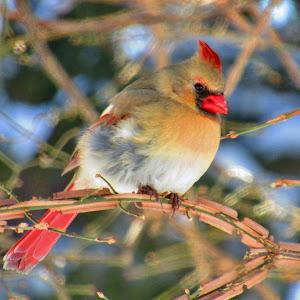 Lady Cardinal Show Stopper IMG_9973.JPG