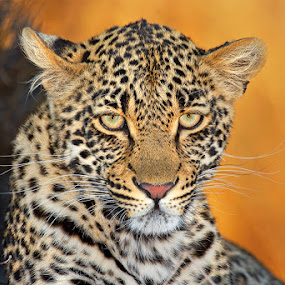 Leopard Portrait by Brendon Cremer - Animals Lions, Tigers & Big Cats ( mammals, sabi sand game reserve, south africa, {panthera pardus}, wildlife, thandi, predators, country, [meat eater], africa, {carnivore}, greater kruger national park, leopard, animal )