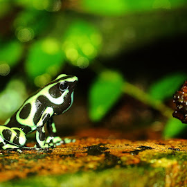 Dandrobate chantant by Gérard CHATENET - Animals Amphibians