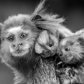 Walking with mom by Loris Calzolari - Animals Other Mammals ( sagui, brazil, monkeys, callithrix penicillata, macacos )