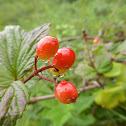 High Bush Cranberry