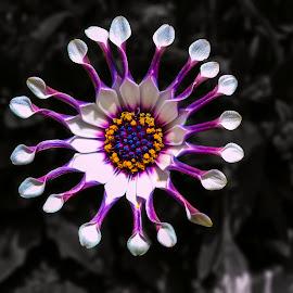 by Peter Murphy - Flowers Single Flower
