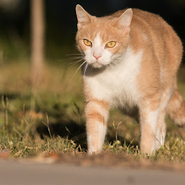 Those Eyes by Deborah Bisley - Animals - Cats Portraits ( walking, cat, ginger, grass, feline, yellow eyes, ginger and white )