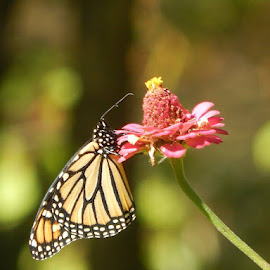 The beauty of a butterfly  by Kjerste Yothers - Animals Insects & Spiders