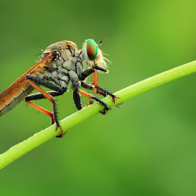 RobberFly by Said  Ikhsan - Animals Insects & Spiders ( macro, nature )