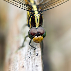 Eyes of the Dragon by Md Mukibul Islam - Animals Insects & Spiders ( dragon fly, dragon eyes, focus, marco, close up, eyes )