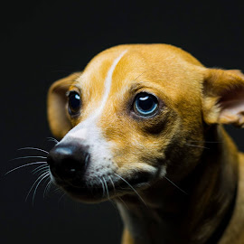 Puppy dog eyes by Anthony Allred - Animals - Dogs Portraits