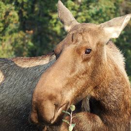 Mama Moose by Frank-Linda Malquist - Animals Other Mammals ( denali, alaska, moose, cow, closeup )
