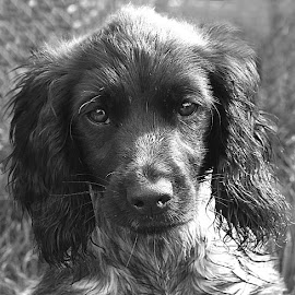 Little Sollie by Chrissie Barrow - Black & White Animals ( monochrome, black and white, cocker spaniel, pet, fur, ears, puppy, dog, mono, nose, portrait, eyes, animal )
