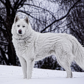 Winter Ghost by Benjamin Dean - Animals - Dogs Portraits