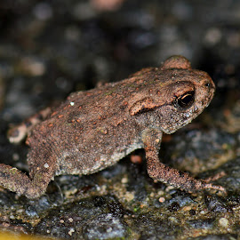 Tiny toad by Stephen Crawford - Animals Amphibians ( lost, toad, baby, garden, small, thousands, miniature,  )