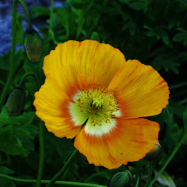 poppy by Sarah Harding - Novices Only Flowers & Plants (  )