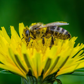 by George Enescu - Animals Insects & Spiders ( work, bee, yellow, flower, honey )