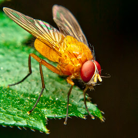 Orange Fly by Jun Santos - Animals Insects & Spiders