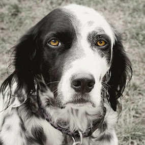 Brown Eyes by Elaine Tweedy - Animals - Dogs Portraits