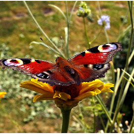 Butterfly on flower by Doreen L - Animals Insects & Spiders ( wild flower, butterfly )