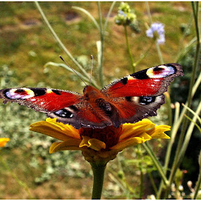 Butterfly on flower by Doreen L - Animals Insects & Spiders ( wild flower, butterfly,  )