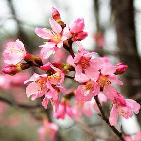 Early Blossoms by Tina Stevens - Flowers Tree Blossoms ( cherry, tree, nature, green, colors, brance, pink, flowers, bokeh, early, blossoms, colours,  )