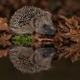 baby hedgehog by Paul Hudson - Animals Other Mammals ( hedgehog, reflection, baby, young )