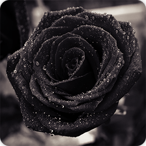 Black rose wallpapers hd android apps on google play for How to make black roses