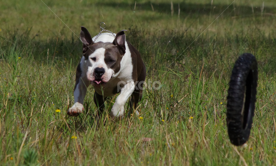 by Kris Pate - Animals - Dogs Running (  )