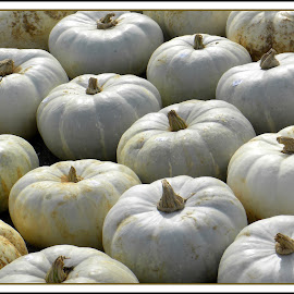 PUMPKINS by Patti Westberry - Public Holidays Halloween ( holiday, pumpkins, white, sale, halloween )