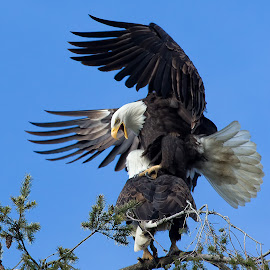 Bald Eagle by Sheldon Bilsker - Animals Birds ( bird, park, nature, bald eagle, raptor )